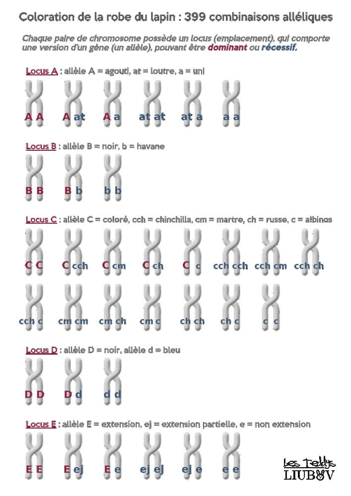 Genetique Des Couleurs Chez Les Lapins